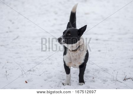 Cute black stocky mixed breed dog standing on a winter street ready to defend its territory poster