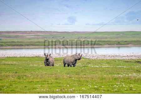 Endangered black rhino or Diceros bicornis on East African Savannah plains