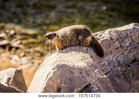 Marmot standong on a rock near a river