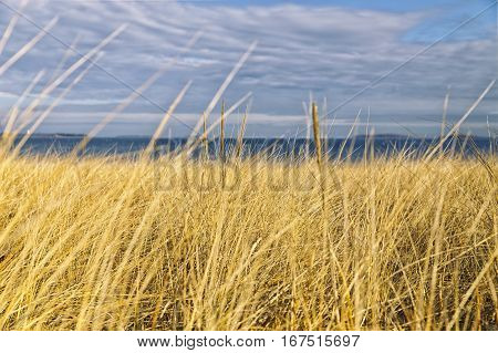yellow grass on the seaside. high withered grass on the field under cloudy sky on the seashore