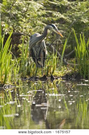 A great blue heron standing at the edge of a marsh is hunting for small fish in the water. It's reflection is visible in the water in the foreground. poster