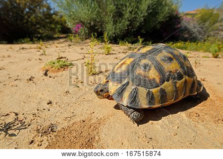 An angulate tortoise (Chersina angulata) in natural habitat, South Africa