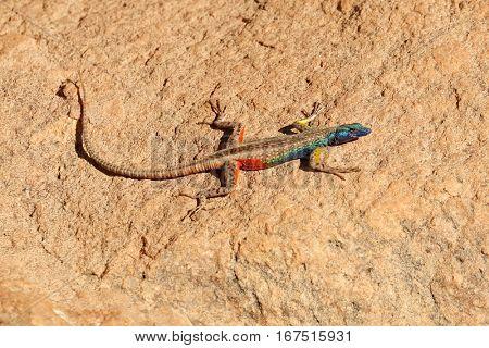 A colorful male Broadleys flat lizard (Platysaurus broadleyi) basking, South Africa