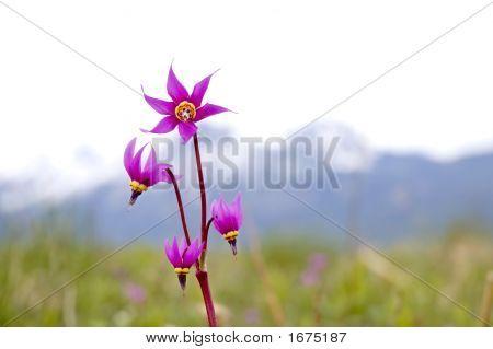 Shooting Star Flower