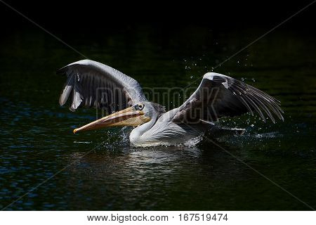 Pink-backed pelican with open wings in its natural habitat