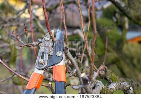 pruning fruit tree brunch with pruning shears