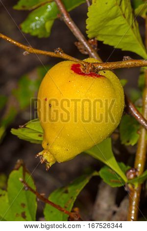 Japanese quince fruit on a bed in the garden