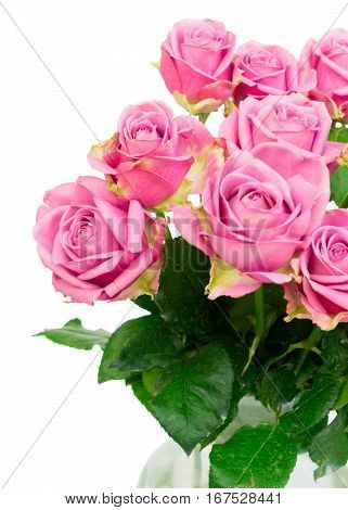 Violet blooming fresh roses posy close up isolated on white background
