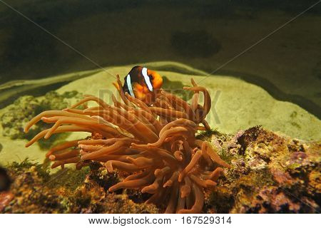 the fish is Amphiprion clarkii . Lives and hides from predators in marine anemone.