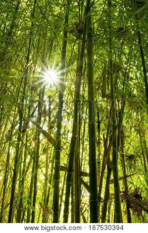 The sun shines through the canopy of a bamboo forest.