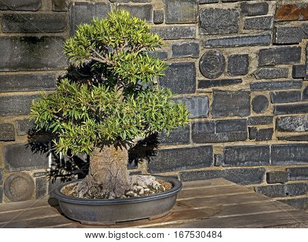 A Bonsai tree sits in the morning sun in a Japanese garden.
