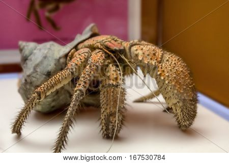 The coconut crab Birgus latro is a species of terrestrial hermit crab known as the robber crab ganjo crab or palm thief.