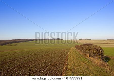 Hedgerow And Wheat