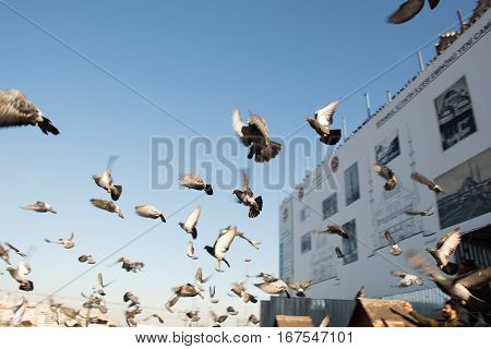 Grey Pigeons Live In Large Groups In Urban Environment
