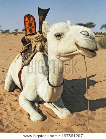 Camel lying on the ground - Mali