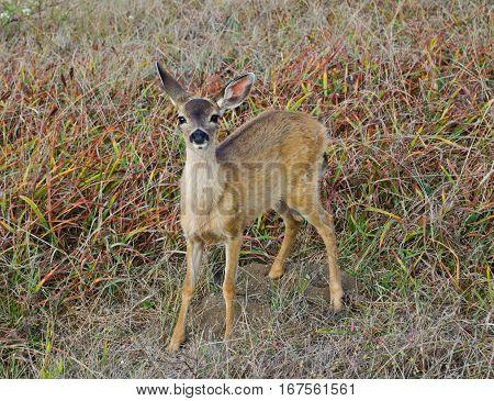 Black Tailed Deer Bodega Head Bodega Bay California