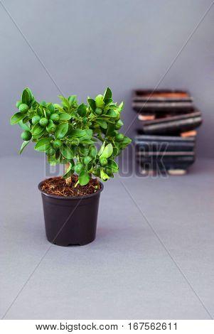 Calamondin bonsai on a dark gray background. Citrus Bonsai on the background of utensils.