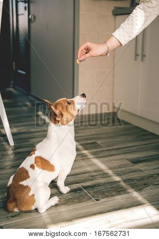 Dog jack russell sitting on wooden floor and staring at human hand with food.