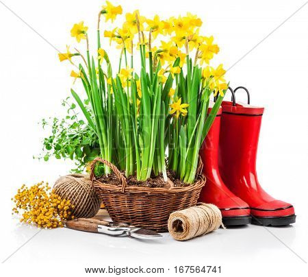 Spring flower yellow narcissus in wicker basket from garden tools and red boots gardening. Isolated on white background