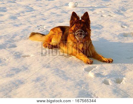 Shepherd in the winter sun.   German Shepherd sitting on the snow in the rays of the winter sun.