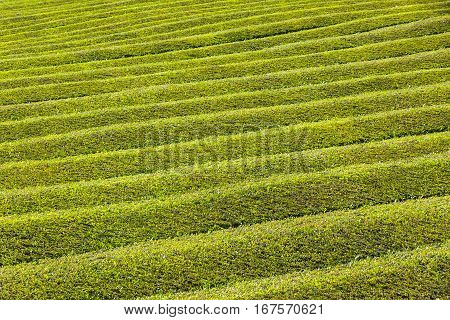 Details of Tea plantation on Sao Miguel island Azores Portugal. Azores is home to the only such plantation in Europe. Amazing landscape of outstanding natural beauty