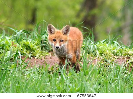 Curious Red Fox Kit standing in the grass near its den