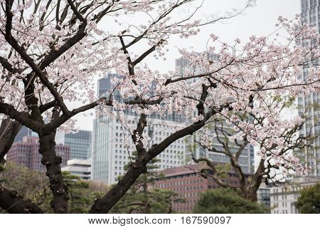 In the picture we can see a tree with beautiful white colored flowers. At the background big buildings can be seen in the picture.