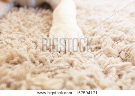 White Fluffy Dog Paw On Carpet