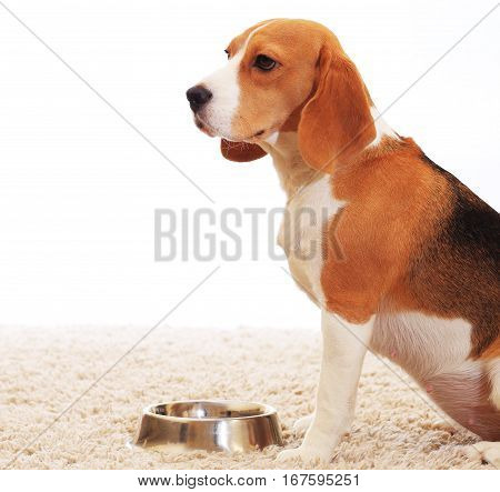 Beagle Waiting For Food