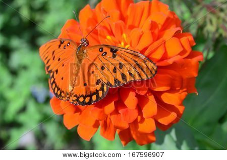 Julia Butterfly On The Red Flower