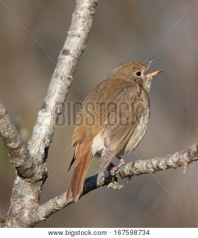 Calling Hermit Thrush (Catharus guttatus) perched on a branch
