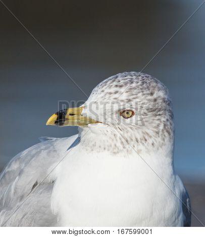 Closeup portrait of Ring-billed Gull (Larus delawarensis) showing head and beak