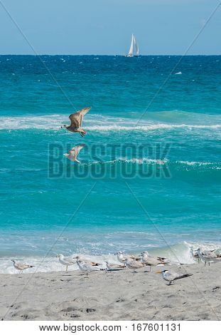 Ring billed gull flying with food in its beak with other gulls on the beach with a sailboat on the horizon