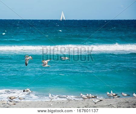 Ring billed gulls and a Royal tern on the beach with gulls flying above and a sailboat on the horizon
