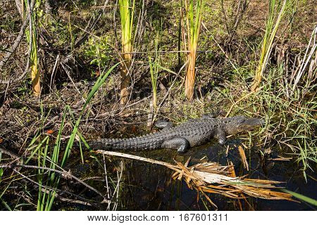 An American alligator in a stream with water grasses and tropical debris
