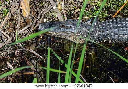 The eye of an American Alligator as he rests at the edge of a marshy stream