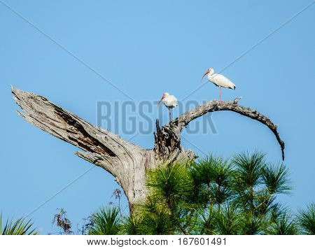 Two ibis standing on one leg in a tree above pines and palms