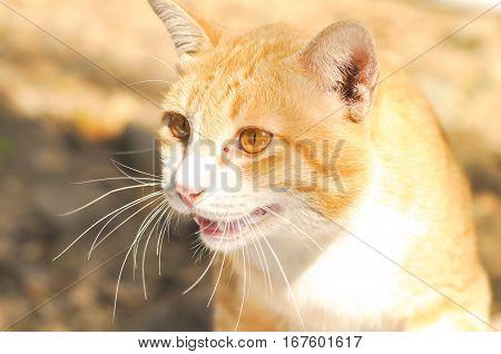 brown cat on the floor , snarl cat