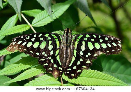 Florida Malachite Butterfly