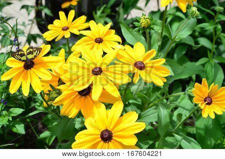 Butterflies And Sunflower