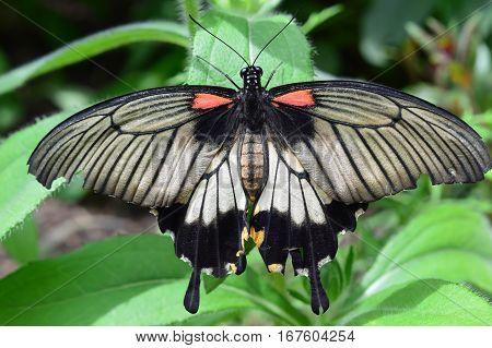 King Butterfly Closeup