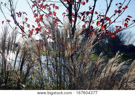 Chinese silver grass (Miscanthus sinensis) stands tall beside a small lake in Joliet, Illinois during November.