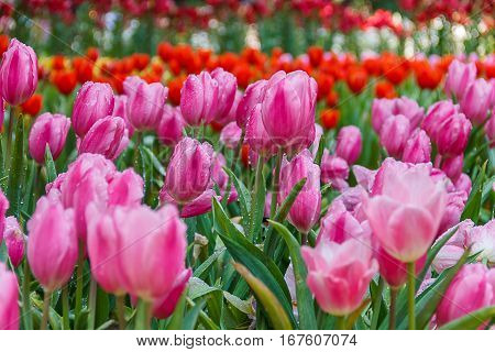 White-pink tulips in the garden with red tulips in the background.