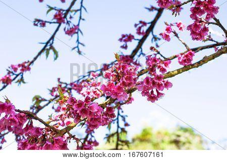 blurred of Prunus cerasoides flower on blue sky background. pink color sakura thailand