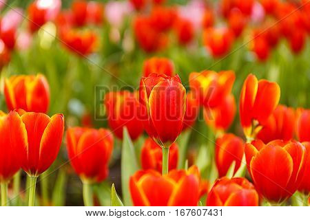 Red Tulips petals orange bud in blurry tulips background under sunlight landscape