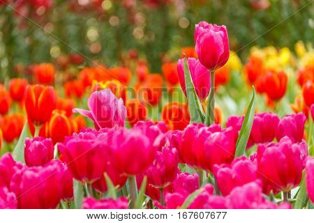 Tulip red flowers in the garden of background tulip red and yellow  blurry.