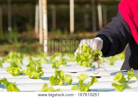 Vegetable hydroponic, organic and hydroponic farm concept