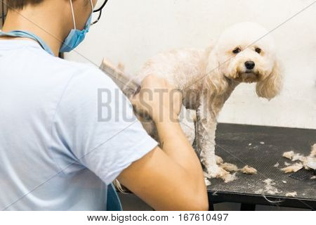 Groomer Trim Groom Pet Dog With Comb In Salon