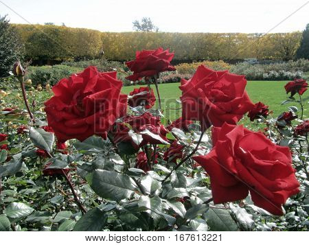 Red Roses on a Rose Bush in a Rose Garden