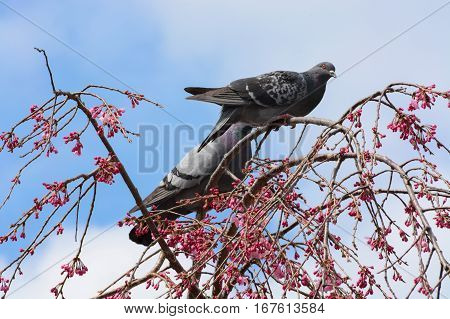 Two pigeons in a weeping cherry tree with pink flower blossoms in Kyoto, Japan